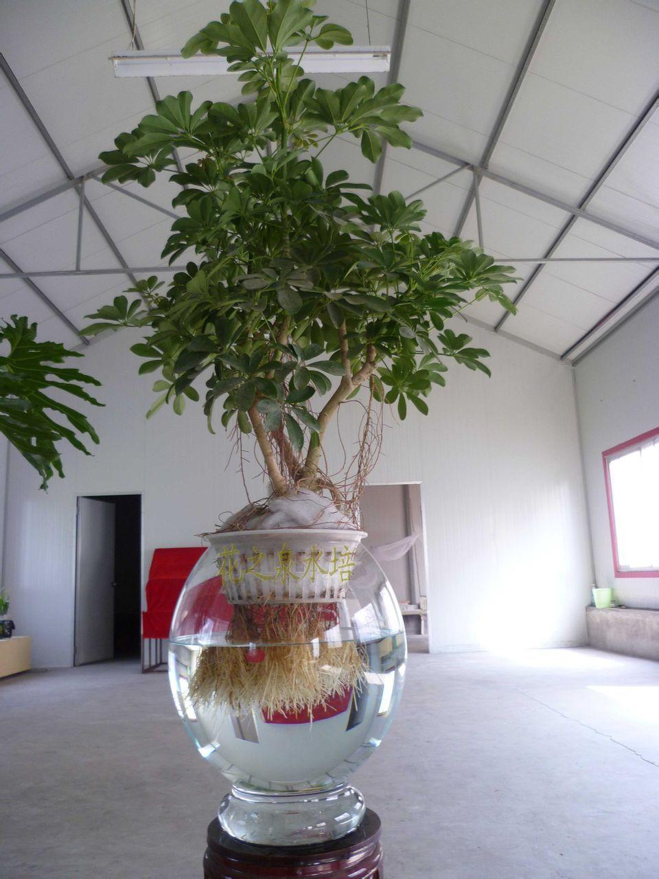 鸭掌木盆景造型