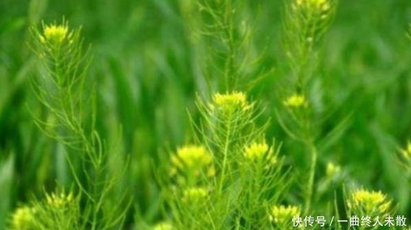 乡下常见的一种野草,曾经不被人重视,现在成了稀罕物,价值高
