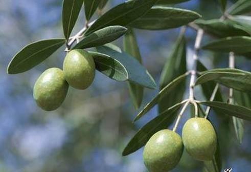 千年橄榄树图片