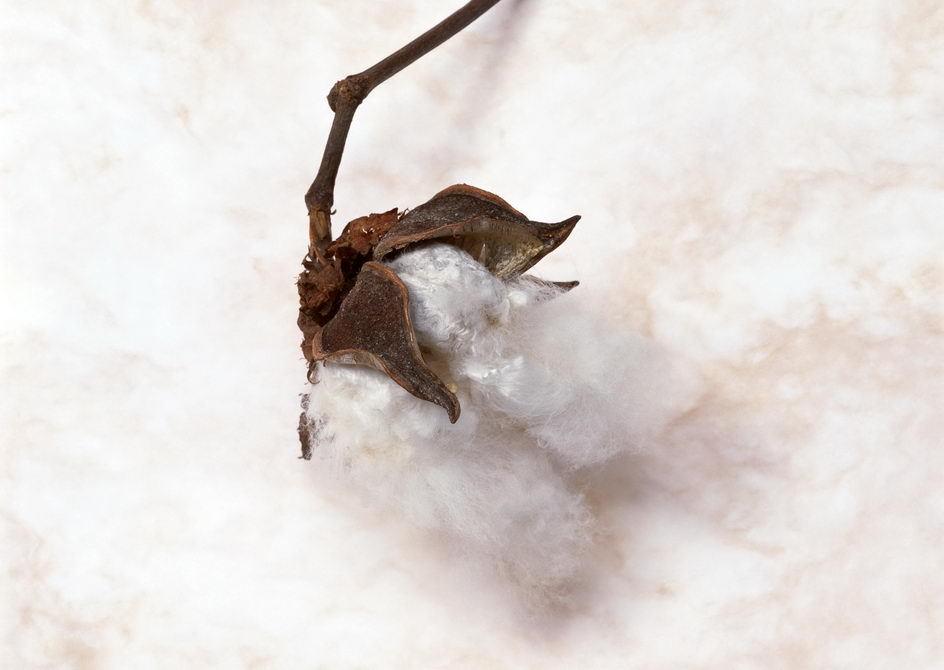 棉花老根横切面手绘图