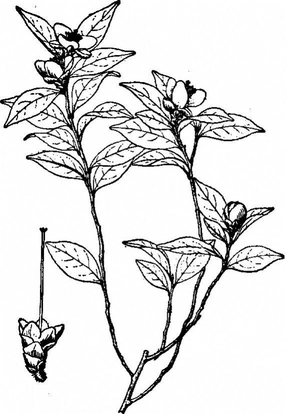 川鄂连蕊茶