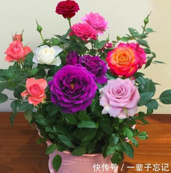 """玫瑰扦插总是失败试着用""""它""""帮个忙,之后发芽、生根旺"""
