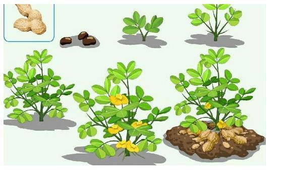 花生的生长过程 图片解释