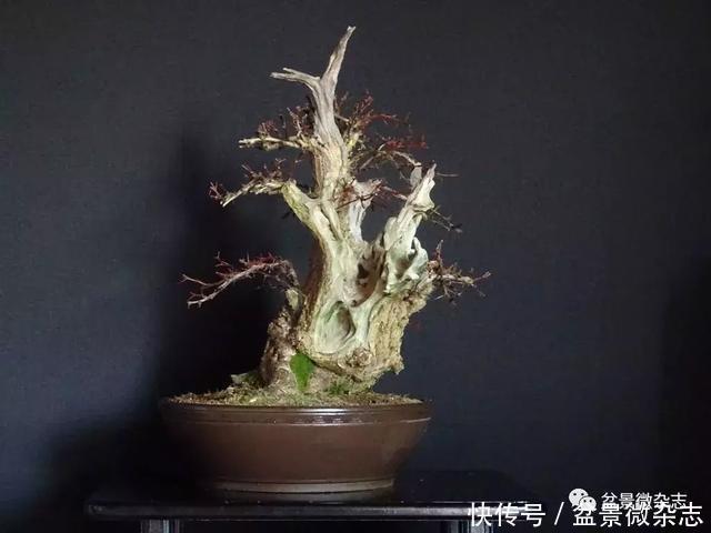 【盆景万象】第十三期 散文《枯木逢春》