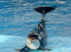 虎鲸被人类囚禁42年后开始自残 用身体和头撞击护栏