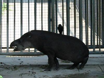 分布区域:南美洲亚马逊雨林 简介 纲:哺乳纲 动物名称:南美貘 nan mei