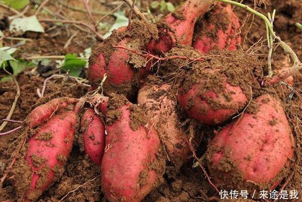 红薯有防癌功效,生长后期,做好两点,产量翻番,邻居都羡慕