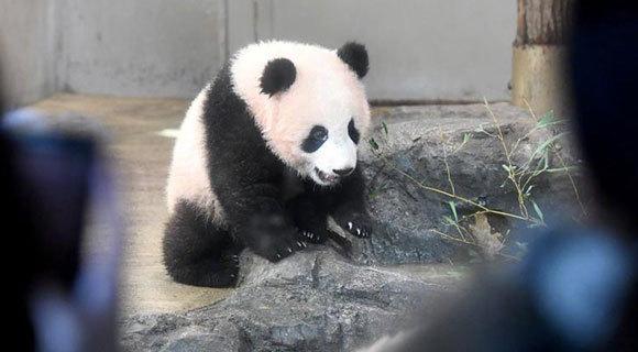 """网红不好当!熊猫""""香香""""要加班接客了"""