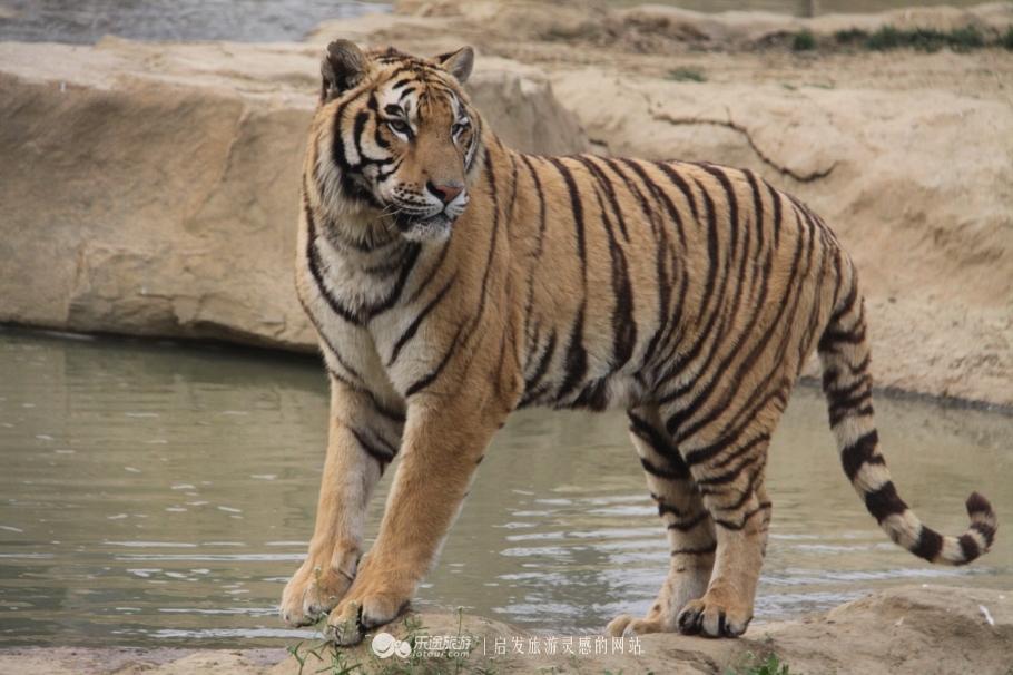 在淹城野生动物世界,与虎狼零距离共舞