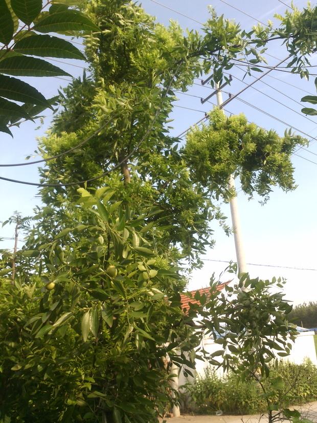 我家枣树叶子又小又密是什么原因啊?