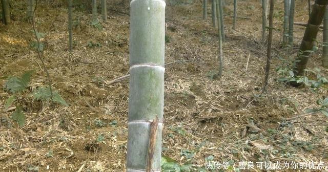 又到挖毛竹冬笋的季节农村奶奶说了三步学会轻松挖到冬笋