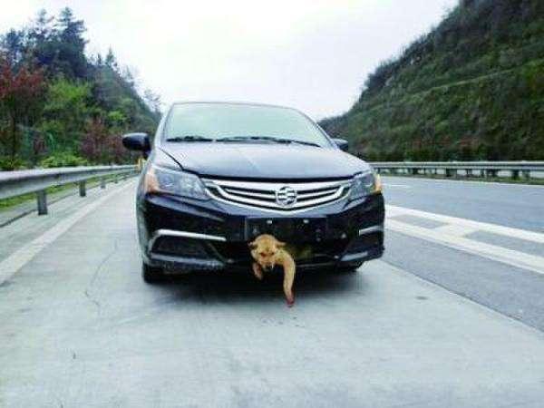 高速遇见狗,是撞?还是躲?90%都会做错