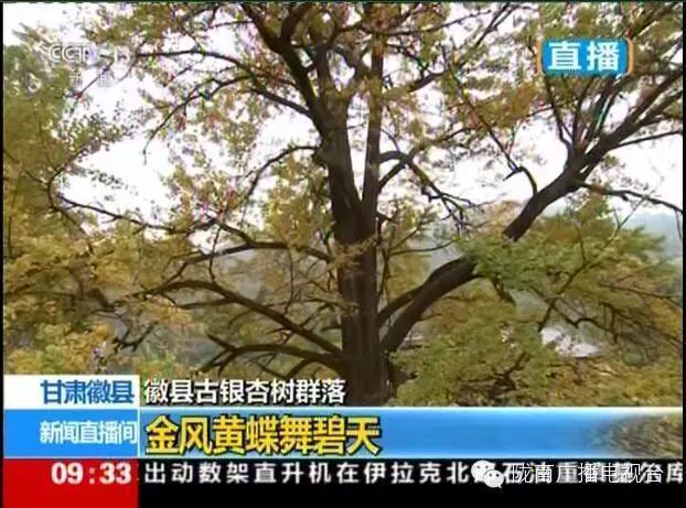 央视现场直播---徽县古银杏树群落惊喜全国