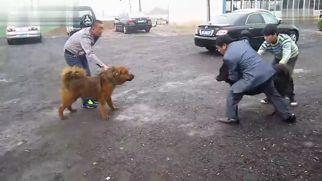 鬼獒和藏獒打架 青狼獒vs鬼獒 3只只藏獒与老虎打架 鬼獒图高清图片