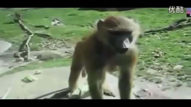 笑死人搞笑猴子搞笑猩猩视频
