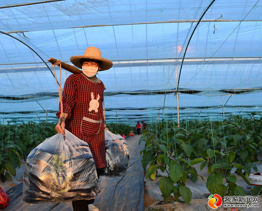 興國:搶收蔬菜保供應