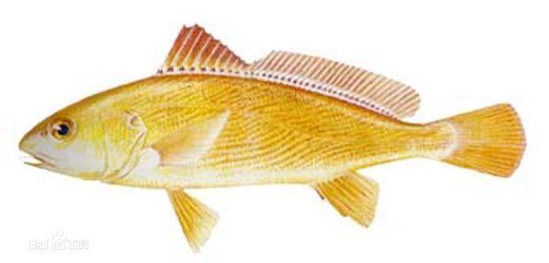 黄姑鱼外形与小黄鱼相似,一般体长20~30厘米、体重300~700克。体延长,侧扁,头钝尖,吻短钝、微突出,无骸须也无犬牙,上颌牙细小,下颌内行牙较大,骸部有5个小孔。体背部浅灰色,两侧浅黄色,胸、腹及臀鳍基部带红色,有多条黑褐色波状细纹斜向前方,尾鳍呈楔形。黄姑鱼为暖水性中下层鱼。具有发声能力,特别是生殖盛期(6月下旬至7月)。主要摄食底栖动物。黄姑鱼的越冬场在黄海南部及东海北部外海。 中文学名:黄姑鱼 拉丁学名:Nibea albiflora 别称:黄姑子、黄铜鱼 界:动物界 门:脊索动物门 亚门:脊