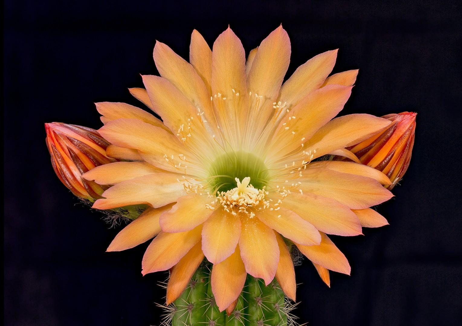 记录仙人掌开花全过程