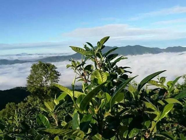 警惕外来茶叶偷运到名山头,假冒名山茶高价出售