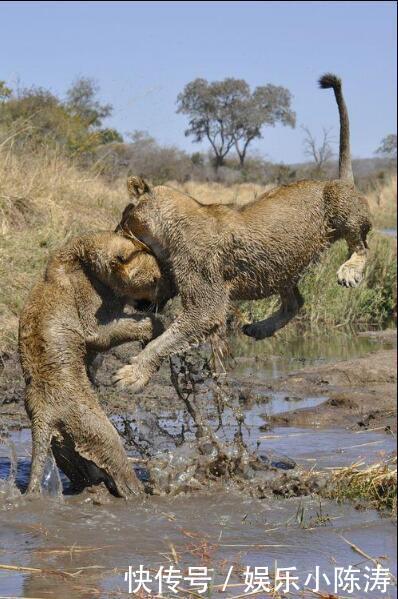 狮子专心在岸边喝水,顽皮同伴一爪把它摁水里