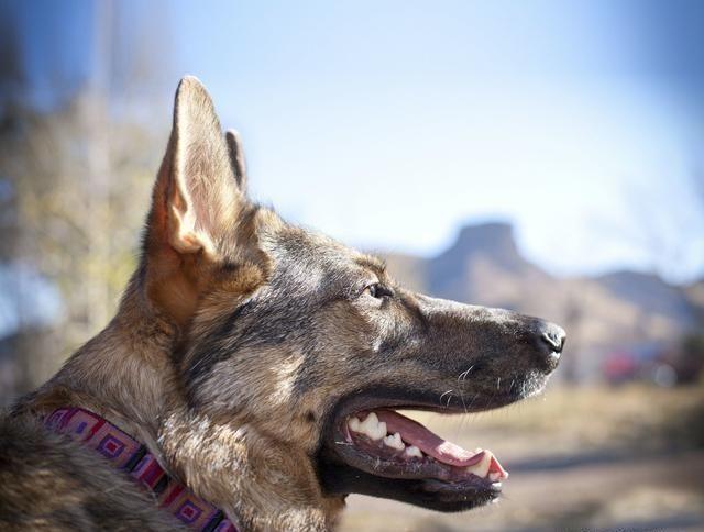 你真的了解德国牧羊犬吗?懂它才能养好它,不然你还是放弃吧
