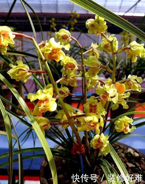 兰花里花量最多的品种,花色高贵,花香浓郁,花型奇特,寓意极好