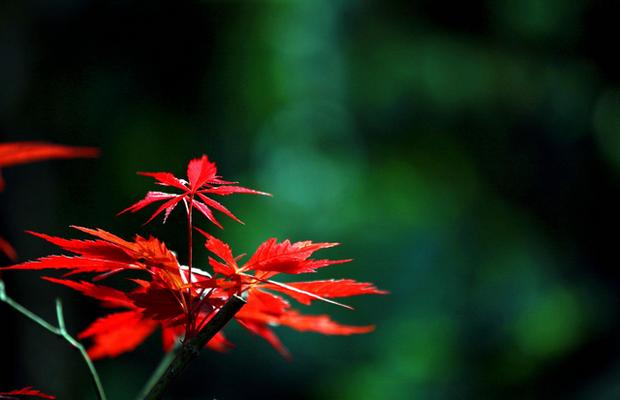 为什么有的树叶秋天会变红?
