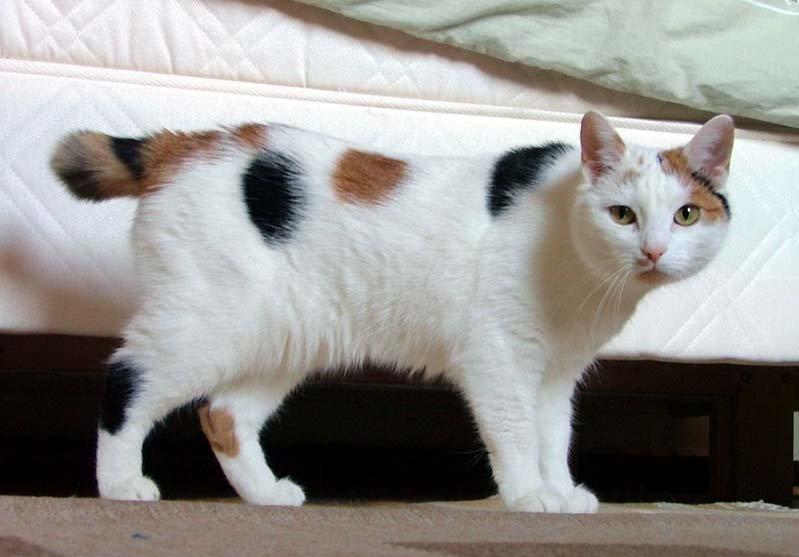 (图)一只带有短尾的马恩岛猫