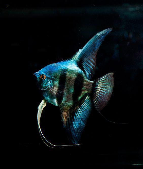 世界上最有仙气的观赏鱼听名字就想养神仙鱼就是这么傲娇 观赏鱼常见疾病 深圳龙鱼第3张
