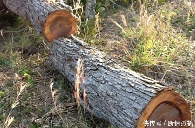 在农村有种树一直被农民当柴烧你知道现在值五六千一斤吗