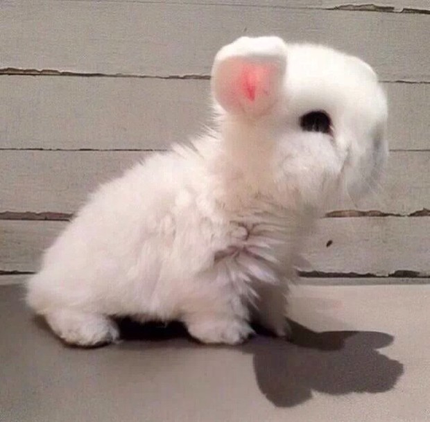 长得像兔子耳朵短眼睛黑四只脚走路什么动物