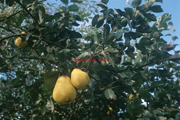 梨做小动物造型