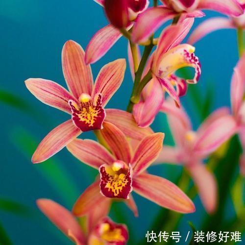 花色最红的兰花,温度越低花色越红,阳光越强香味越浓,值得入手