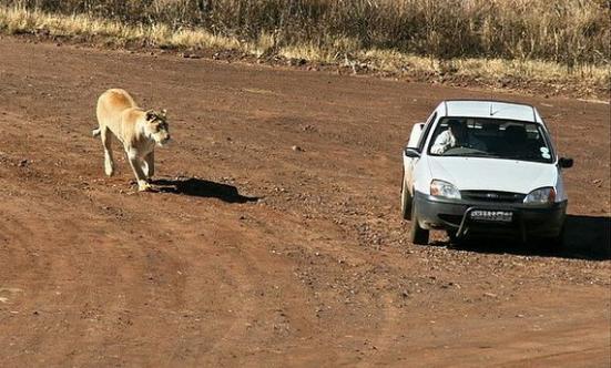 游客开车在保护区里参观,突然被狮群前后围攻,这是要干什么?