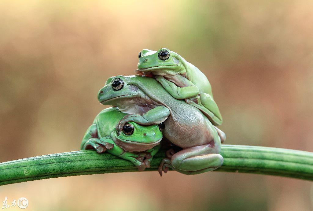 三只青蛙叠罗汉,动物界的搞笑场景