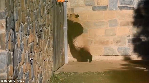 旅美大熊猫母子分离后抓墙找宝宝 看哭美国网友 - fdycq - 费家村----老费的三角梅花园