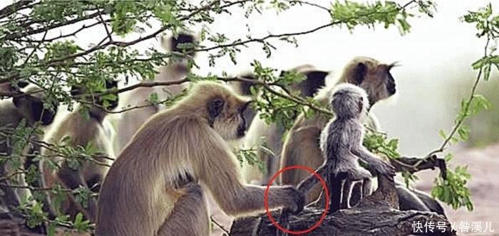 男子往猴群扔了一只假猴子,母猴以为自己不慎杀死,意外发生了!
