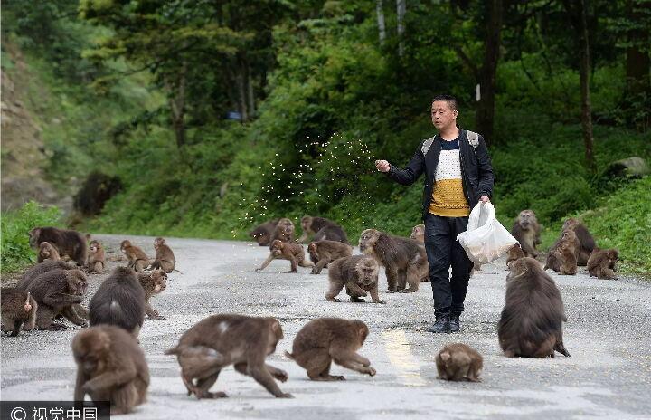 男子当猴王4年独自照顾80多只猴 曾被猴围攻 -  - 真光 的博客
