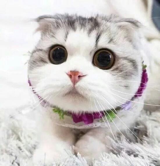 这猫主要是当宠物猫,大眼睛,胖胖的很可爱,喜欢和你撒娇,喜欢你帮他挠